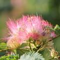 写真: ネムの花
