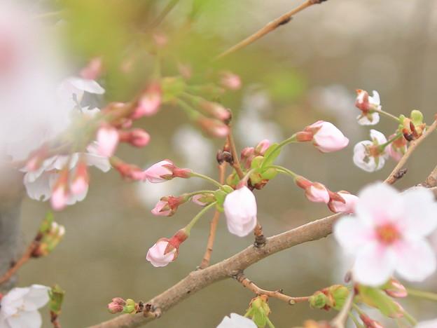 写真: 桜咲く