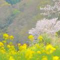 Photos: 桜便り