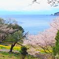 Photos: 桜と海