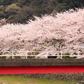 Photos: 桜ロード