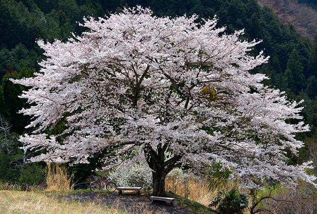 写真: 八徳の一本桜
