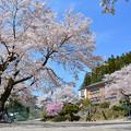 写真: 旧南川小学校の桜