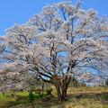 写真: 岩渕の一本桜2016