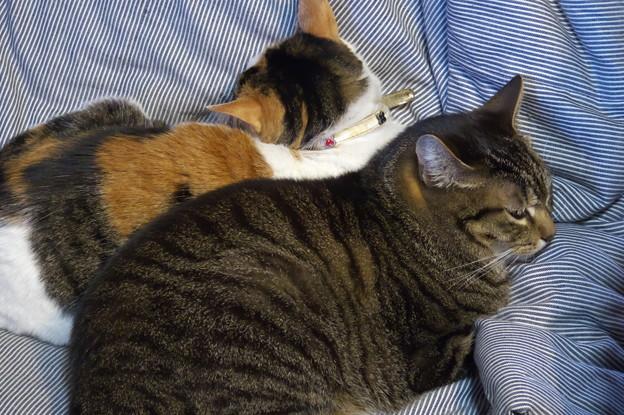 たまちゃん一家の猫団子