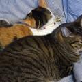 写真: たまちゃん一家の猫団子