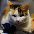 Photos: 可愛い方の三毛猫でし