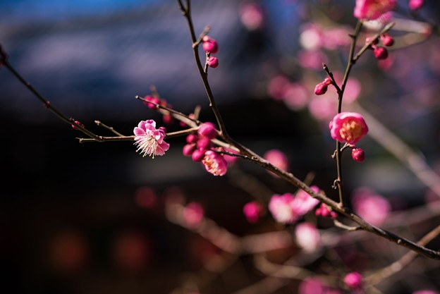 寒い日が続く、それでも梅は咲く