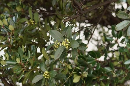 月桂樹(ゲッケイジュ)
