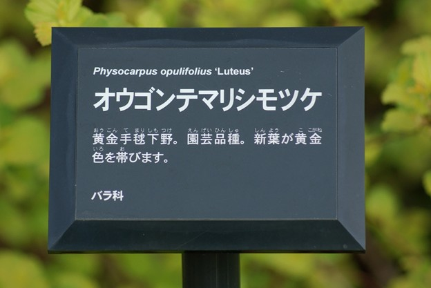 亜米利加手毬下野 ルテウス(アメリカテマリシモツケ)