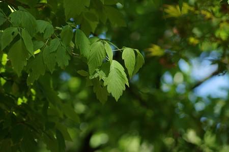 梣葉の楓(トネリコバノカエデ)
