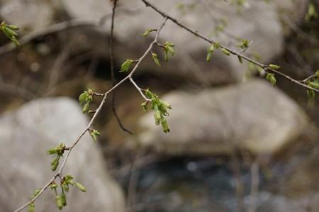 丁子桜(チョウジザクラ)