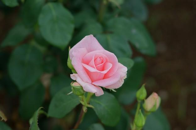 薔薇 サマー・レディ