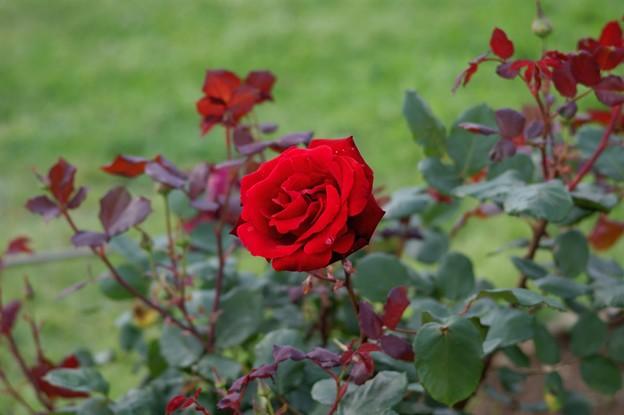 薔薇 グラフ・レナート