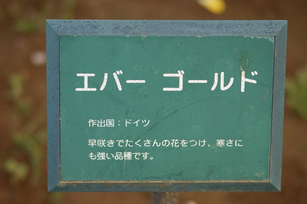 薔薇 エバー・ゴールド