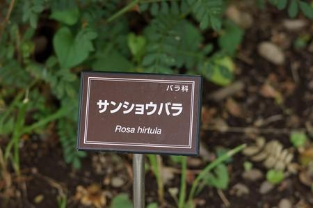 山椒薔薇(サンショウバラ)
