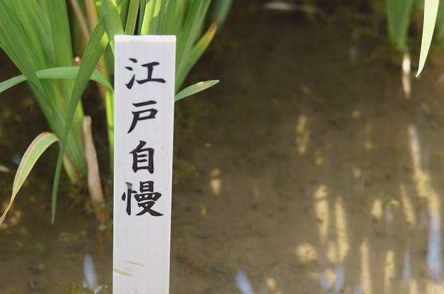 写真: 花菖蒲 江戸自慢