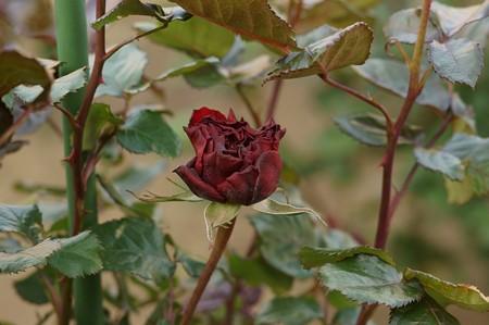 薔薇 レッド・クィーン