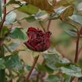 Photos: 薔薇 レッド・クィーン