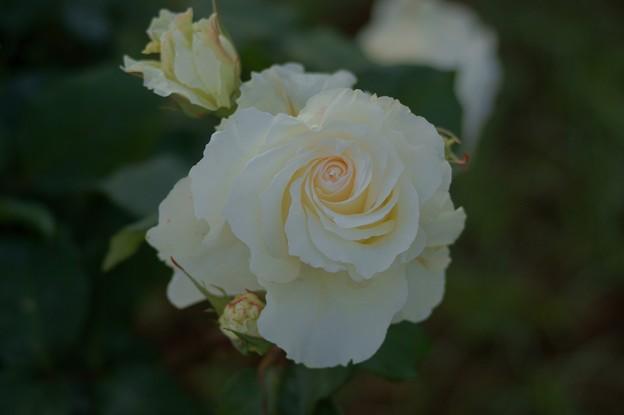 薔薇 マダム・サチ