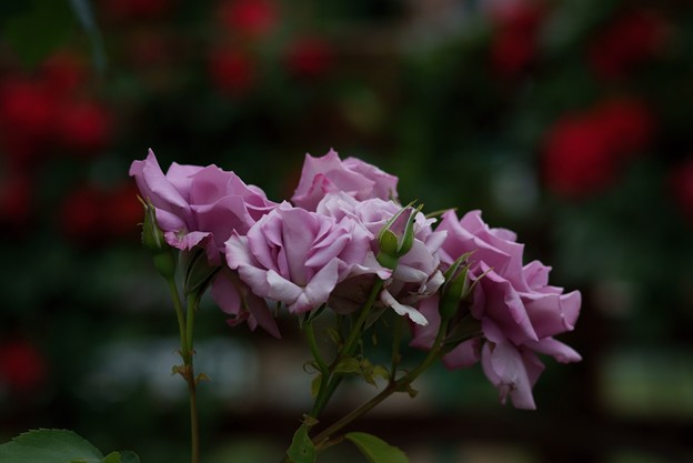 薔薇 マダム・ヴィオレ