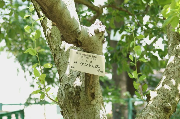 ニュートンのリンゴ(ケントの花)