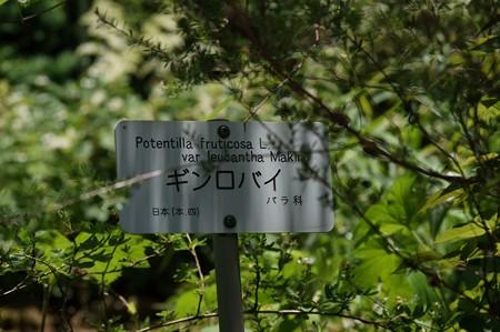銀露梅(ギンロバイ)