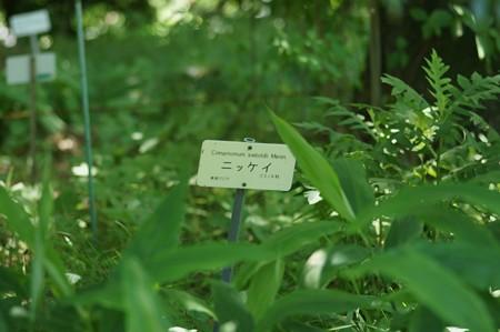 肉桂(ニッケイ)