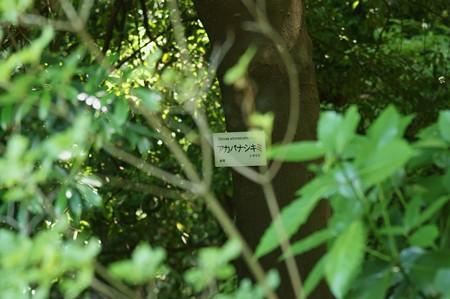 赤花樒(アカバナシキミ)