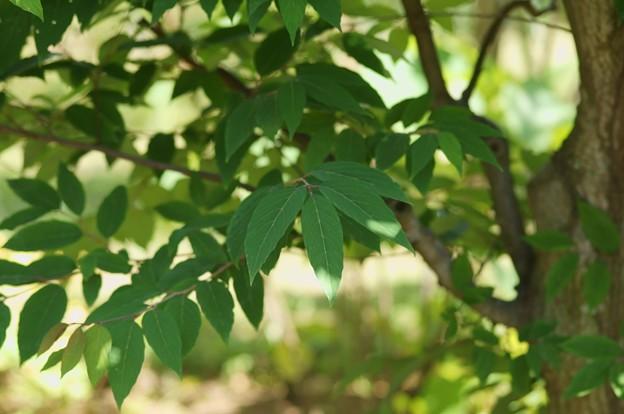 横倉の木(ヨコグラノキ)