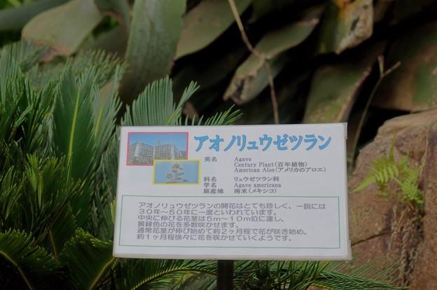 青の竜舌蘭(アオノリュウゼツラン)