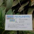 写真: 青の竜舌蘭(アオノリュウゼツラン)