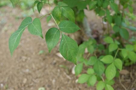 三葉空木(ミツバウツギ)