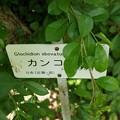 写真: 餲餬木(カンコノキ)