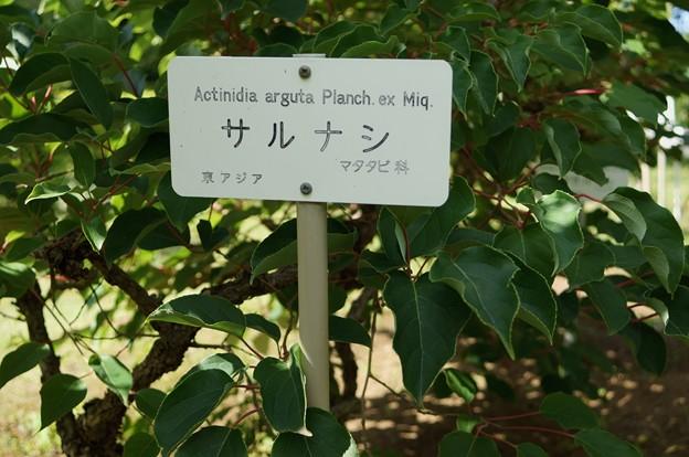 Photos: 猿梨(サルナシ)