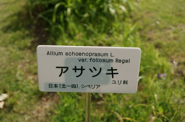 浅葱(アサツキ)