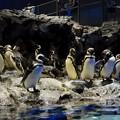 Photos: マゼランペンギン
