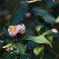 写真: 紅花茶(ベニバナチャ)