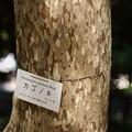 写真: 鹿子の木(カゴノキ)