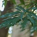 バリバリの木(バリバリノキ)