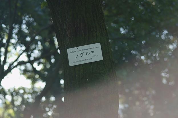 野胡桃(ノグルミ)