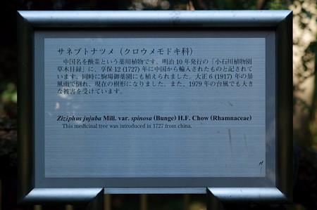 核太棗(サネブトナツメ)