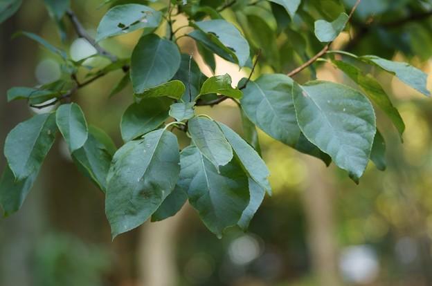 萵苣の木(チシャノキ)