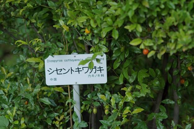 四川常盤柿(シセントキワガキ)