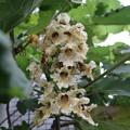 写真: 木大角豆(キササゲ)