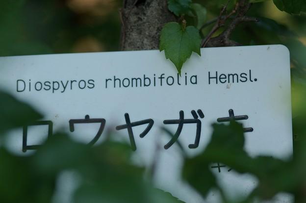 Photos: 老鴉柿(ロウヤガキ)