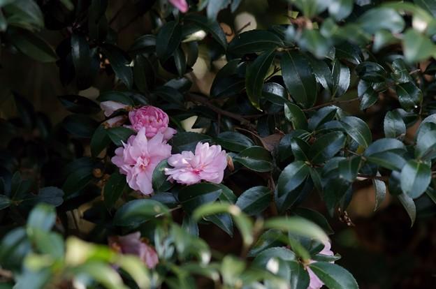 写真: 山茶花 乙女山茶花