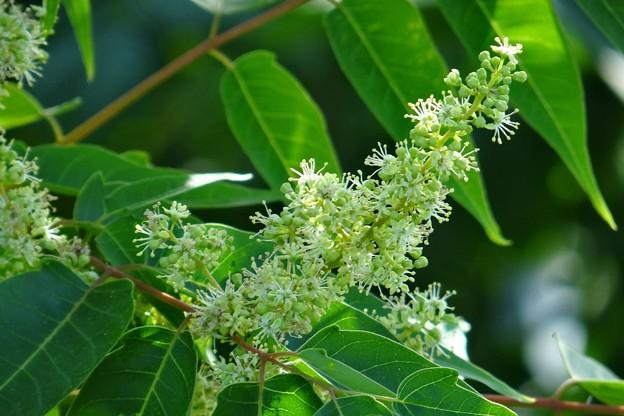 櫨の木(ハゼノキ)