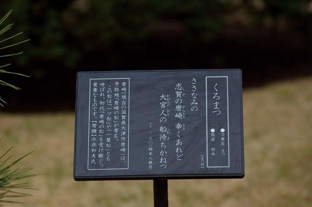 黒松(クロマツ)