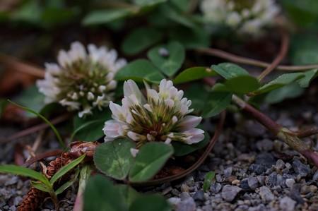 白詰草(シロツメクサ)